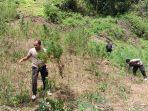 Ladang Ganja Seluas 4 Hektar di Temukan Dipegunungan Sumatera Utara