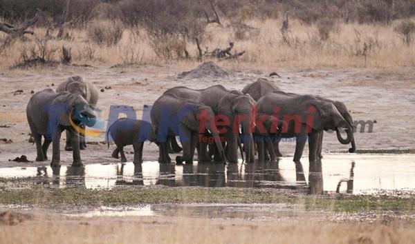 Lusinan gajah mati akibat kekeringan di Zimbabwe