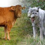 Kisah Sapi yang Baik Hati dan Serigala yang tak tahu Balas budi (Oleh: Asmin Amin)