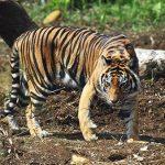 Harimau Sumatra membunuh Petani dan melukai Wisatawan