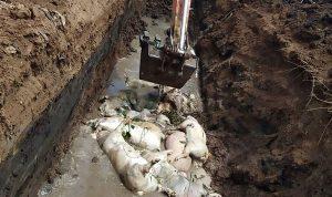 Lebih dari 27.000 Babi Mati Akibat Kolera di Sumatera Utara