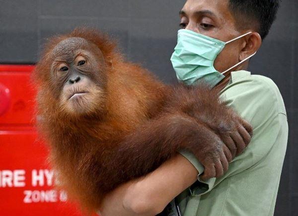 Selundupkan Orangutan, Kadal dan Tokek dari Bali, Warga Negara Rusia di Hukum 1 Tahun Penjara