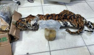 Polisi menangkap lima tersangka pemburu harimau sumatera hamil