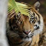 Petani Kopi Tewas diterkam Harimau Sumatera