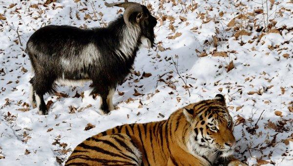 Kisah teman yang tidak biasa, Kambing Hidup diberikan kepada Macan sebagai makanan, Namun Mereka Menjadi sahabat terbaik