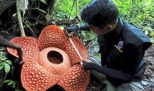 Bunga Rafflesia, Bunga terbesar di dunia yang hanya terlihat di Indonesia