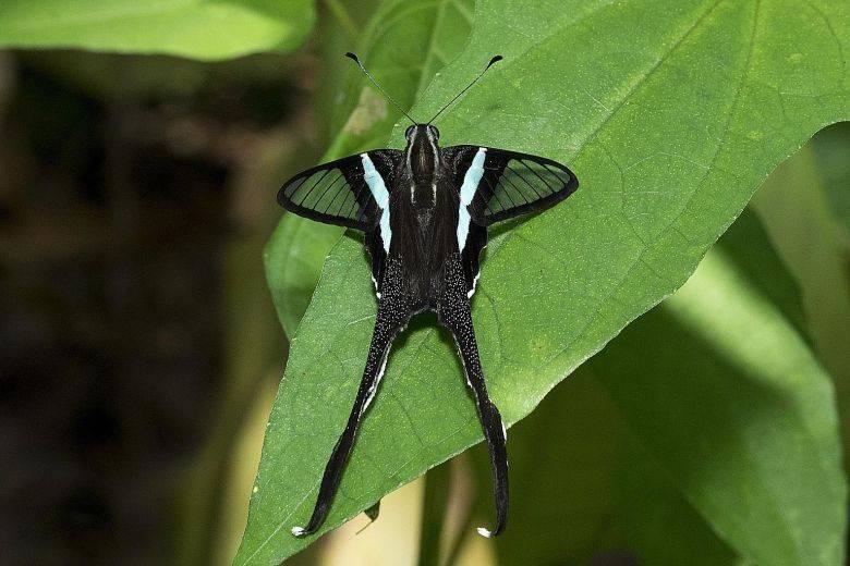 Hampir setengah dari spesies kupu-kupu Singapura punah