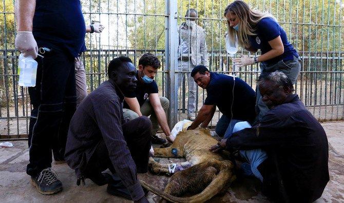 Tak Terurus, Empat Singan di Kebun Binatang Sekarat