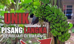 Video: Pisang Langka di Jeneponto Berbuah di Batang