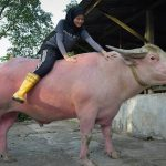 Kisah Mengapa Orang Bugis Pantang Makan Kerbau Balar
