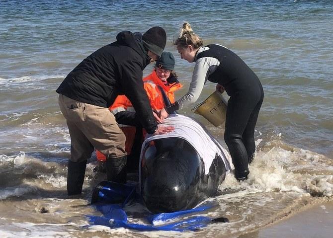 Setidaknya 380 paus mati terdampar massal di Australia