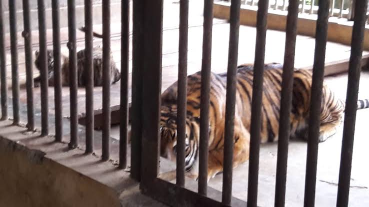 Dua Harimau Sumatera di Kebun Binatang Jakarta Sembuh dari Virus Corona