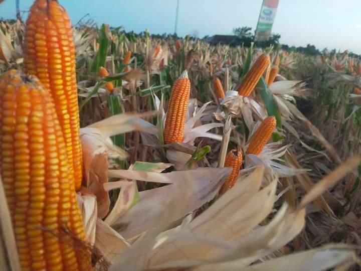 Bidang Tanaman Pangan Dinas Pertanian Kabupaten Jeneponto Lakukan Persiapan Panen Raya Jagung Nusantara